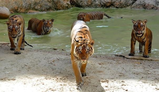 Tiger Temple, Kanchanaburi